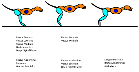 Primary and synergistic muscles of the rear leg utilized during the three phases of the Stance Phase of the step cycle.