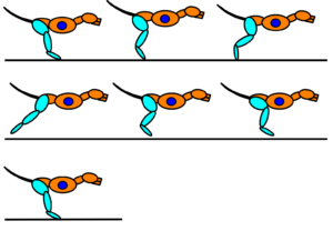The step cycle of the rear leg in the dog. It is made up a stance phase and a swing phase.