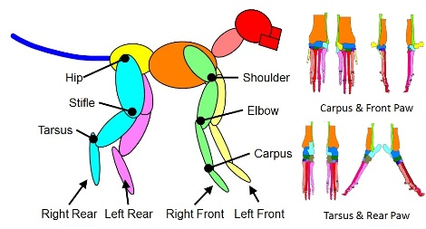 The geographical segments of the dog's limbs.