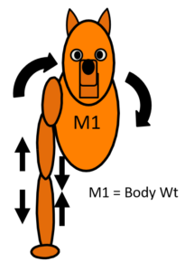 Each leg of the dog will bear the forces differently. When the right front is in the stance phase, the weight of the body will act on its media aspect. This creates distractive forces on the outside and compressive forces on the inside of the leg.
